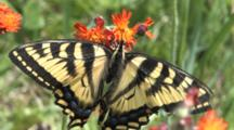 Eastern Tiger Swallowtail Butterfly, Feeding On Orange Hawkweed, Exits