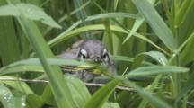 Blue Jay Fledgling, Peeking Through Grass, Topknot Reacts To Parents Call