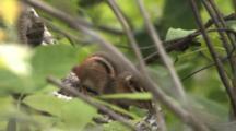 Chipmunk Hiding In Birch Tree