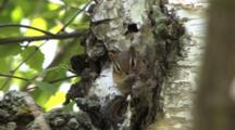 Chipmunk In Birch Tree, Cleans Paws, Nose, Escalates To Face, Ears