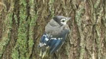 Blue Jay Fledgling, Wet From Grass, Resting On Side Of Tree