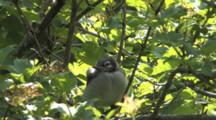 Blue Jay Fledgling, Hiding In High Bush Cranberry,  Calls Out