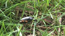 Long Horned Beetle Crawling Through Grass