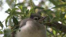 Blue Jay Fledgling, Puffed Up, Sitting Quietly In Willow Tree