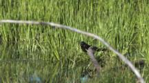Common Grackle With Leech, By Pond Edge