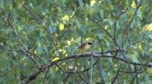 Common Yellowthroat Hopping, Singing On Branch, Windy Day