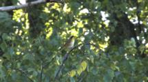 Common Yellowthroat Singing On Branch, Windy Day, Exits
