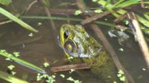 Green Frog, Sitting In Shallow Water