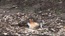 Killdeer Parent Mimic, Draw Away Predators From Chicks, Runs Off Frame
