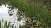 Pond Edge In Spring, Cattails, Lily Pads, Pond Grasses