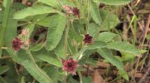 Purple Cinquefoil, Wildflower, Group Of Four