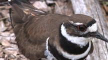 Killdeer Calling, Standing Over Nest, Looking Back And Forth