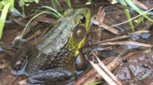 Green Frog, Sitting On Shore Of Pond, Moves Hind Leg