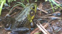 Green Frog, Sitting On Shore Of Pond, Blinks