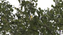 Common Yellowthroat, Throws Head Back, Singing On Branch