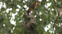 Oriole Nest Hanging In Tree, Female Enters, Feeds Young, Heads Visible