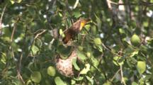 Oriole Female, Enters, Feeding Young In Nest, Removes Feces From Chick, Carries Off