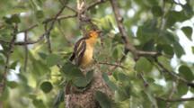 Oriole Juvenile, Pops Out Of Nest, Struggles, Exits Nest, Never Returns
