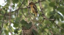 Oriole Juvenile, First Time Out Of Nest, Hangs On Branch Above, Zoom Out