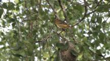 Oriole Juvenile, First Time Out Of Nest, Hangs On Branch In Stiff Breeze