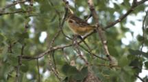 Oriole Juvenile, First Time Out Of Nest, Hangs On Branch In Stiff Breeze, Zoom Closer