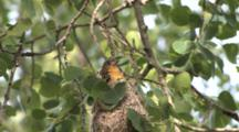 Oriole Juvenile, Second Fledgling, Fluffs, Decides To Go Back In Nest