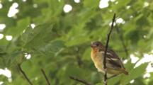 Oriole Juvenile, Fledgling, Hanging On Branch, Calling For Parents, Deficates, Exits