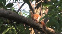 Red Squirrel On Branch, Grooming, Grooming, Grooming, Races Off