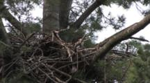Bald Eagle, Juvenile In Nest, Head Visible, House Sparrow Beneath