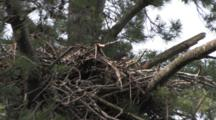 Bald Eagle, Juvenile In Nest, Head Visible, House Sparrow Beneath, Also Living In Nest