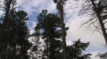 Large White Pine Tree, Zoom To Bald Eagle Nest With Young, Blinking