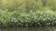 Pickerelweed, Large Group Growing At Edge Of Wetland Pond