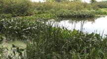 Wetland Habitat, Broadleaf Arrowhead, Pickerel Weed