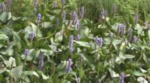 Pickerelweed, Large Group In Wetland Habitat