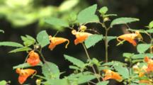 Jewelweed Flowers, Dew On Stems
