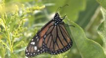 Monarch Butterfly On Milkweed, Side View, Newly Emerged, Opens Wings Once