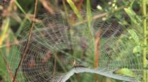 Spiderweb Rippling In Morning Breeze, Spider In Middle Of Web