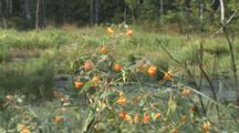 Jewelweed Plant, Wetland Habitat