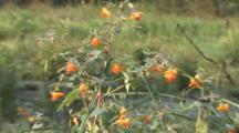 Jewelweed Plant, Wetland Habitat, Zoom To Cu Flowers, Dew