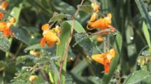 Jewelweed Plant,  Flowers, Dew On Stems And Leaves