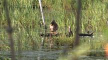 Jewelweed Plant Growing In Wetland, Zoom To Mallard Duck Preening On Log In Bg