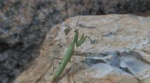 Praying Mantis On Rock, Turning Head, Looking To Left