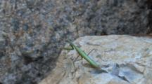 Praying Mantis On Rock, Back View