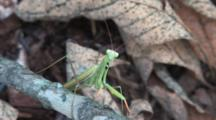 European Praying Mantis, Front View, Showing Black Leg Patches