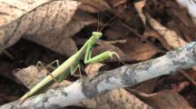 Praying Mantis On Branch, Side View, Looking Toward Camera