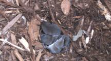 Four Pygmy Shrews In Nest Bundle, Scratching, Scratching, Rolling, Another Enters, Dives In Nest