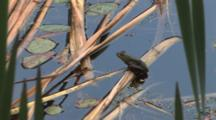 Green Frog On Cattail Reed In Water