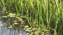 Cattail Shoots And Pond Lilies, Beaver Pond