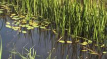 Cattail Shoots And Pond Lilies, Dragonflies Flying Through Frame