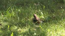 Northen Flicker On Ground, Feeding, Looking Into The Sky For Danger